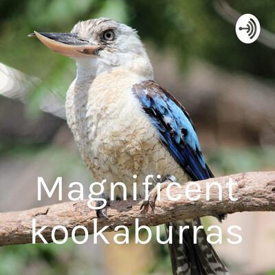 Magnificent kookaburras