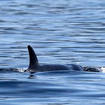 A-Pod Cast For Killer Whales