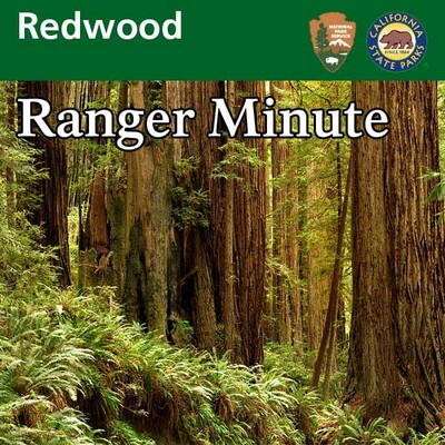 Redwood Ranger Minute