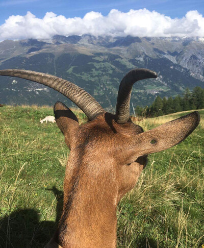 Carmen's mini goat farm in Arbois, the Jura, France