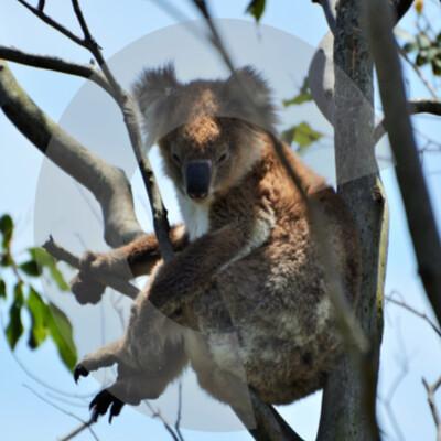 Criterion Koalas
