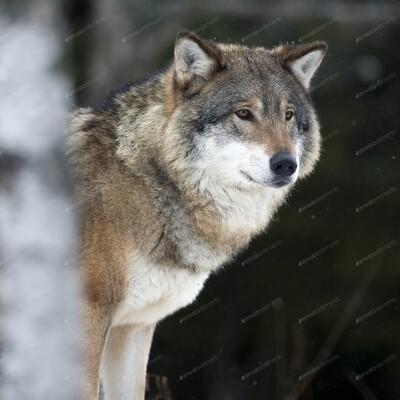 Wolf Hunter Podcast