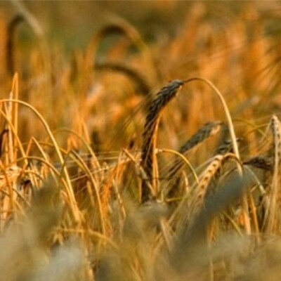Spectrum Commodities Wheat & Cattle Markets Analysis