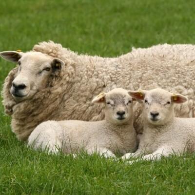 En busca de la oveja perdida