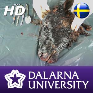 Dissektion av fårhuvud (HD)